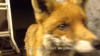Download A friendly urban fox in my garage. Video