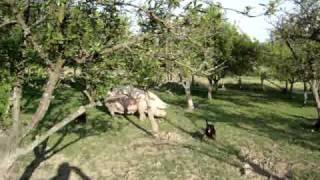 Download stenad kopova laju svinje Video