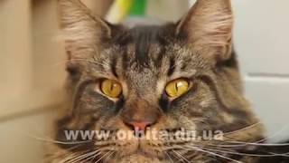 Download Мейн-кун Шейх: характер нордический, привычки царские! Video