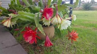 Download Hoa quỳnh nhà trồng Video