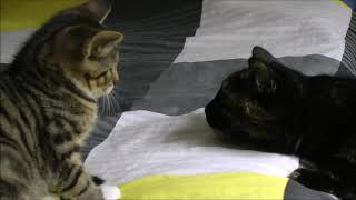 Download Mongo The Cat meets Zorro The Kitten 20170810 Video
