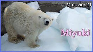 Download ホッキョクグマ みゆきのおやつタイム 王子動物園 Video