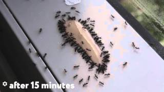 Download ANT GEL is the best way to kill ants. TIMELAPSE. Video