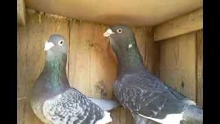 Download adana kuşları Video