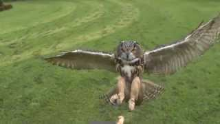 Download Owl Attack in Slow Motion Video
