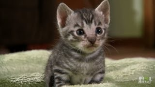 Download Toygers on the Prowl | Too Cute! Video
