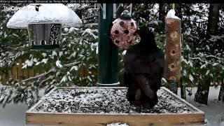 Download Juvenile Raven Shows Its Vocal Range In Ontario - Dec. 6, 2016 Video
