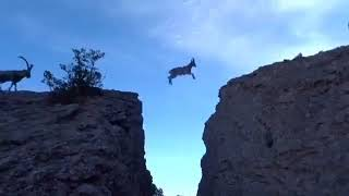 Download 야생 염소 가족 절벽 건너기 Video