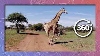 Download Giraffe Running Past Camera in 360 4K (Wildlife and Nature) Video