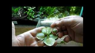 Download Aquarium Plant Discussion About Floating Plants Frogbit, Salvinia Natans and Dwarf Water Lettuce Video