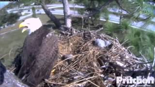 Download SWFL Eagles Close Call ~ Intruder Almost Lands In The Nest ~ Harriet Is Fierce 1-5-14 Video