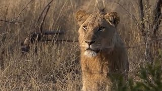Download WE SafariLive- Sad news. Mhangeni male lion died Friday 29 Nov 2019. Video