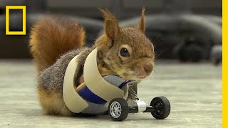 Download A Squirrel's Prosthetic Wheels Are the Key to Recovery | National Geographic Video
