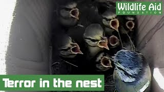 Download Woodpecker attacks baby birds Video