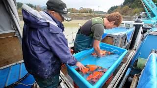 Download Konishi Koi Farm - Hi Utsuri Selektion am Naturteich Kyonozu 2011 Video