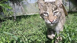 Download Four Baby Bobcats Unite Video