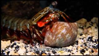 Download 雀尾螳螂蝦 Video