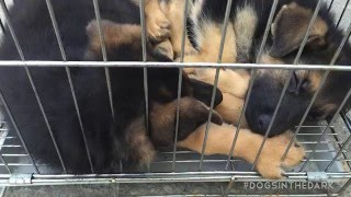 Download 11 dogs rescued from dog meat Video
