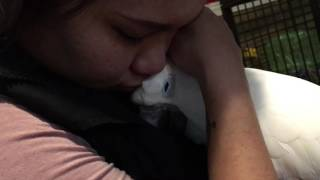 Download Before going to sleep❤ Cockatoo love Video