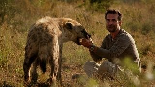 Download Man plays with Hyena - Animal Odd Couples: Episode 2 Preview - BBC One Video