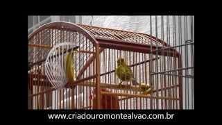 Download Canário da terra CHAPARRAL (Predador e Paraíba) Video