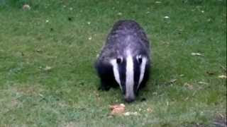 Download Mother & Baby Badgers Feeding Video
