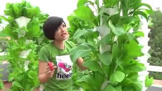 Download Thu hoạch rau sạch trồng trên trụ đứng thuỷ canh của cty Cổ Phần Nông Sạch. Video
