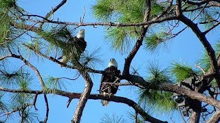 Download SWFL Eagles One Mating-Two Love Taps-Stick On The Fly & A Great Carry Back 11-07-17 Video