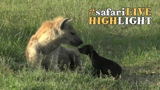 Download Hyena Mother with Adorable Cub Video