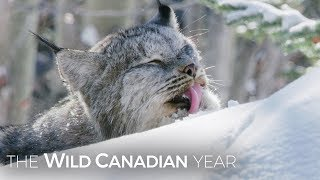 Download A Wild Canadian Lynx And A Cameraman Develop An Amazing Relationship   Wild Canadian Year Video