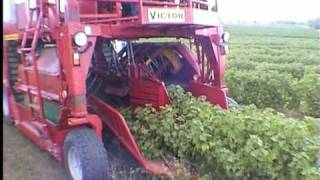 Download VICTOR - kombajn samojezdny (self propeled berry harvester), - zbiór porzeczki czarnej Video