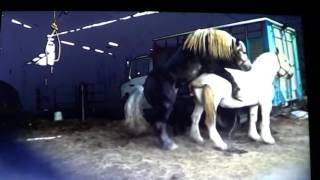 Download Horse Runs Off With Stupid Human Because Of Missed Warnings - Good Stud Breeding Video
