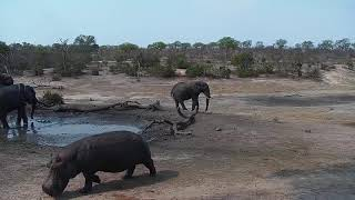Download Djuma: Hippo runs out of pan as Elephant is kicking mud - 14:30 - 10/24/19 Video