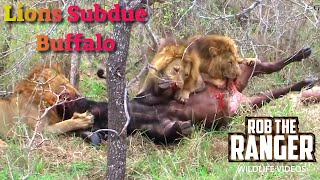 Download Intense Footage:Three Male Lions Subdue A Buffalo Bull Video