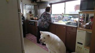 Download 【秋田犬げんき】ご先祖様に挨拶をしてお婆さんに報告する【akita dog】 Video