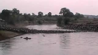 Download wildebeast crossing Video