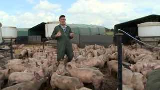 Download Yorkshire Pigs, born and bred Video