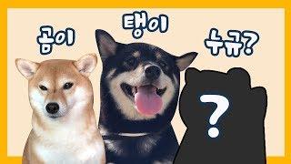 Download 시바견 셋째 입양했는데 강아지 반응이 ㅋㅋ/ Shibainu 곰이탱이 Video