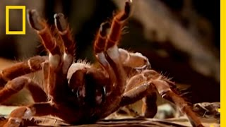 Download Giant Tarantula | National Geographic Video