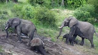 Download Djuma: Elephant herd comes for afternoon dip in the dam - 14:31 - 01/23/2020 Video