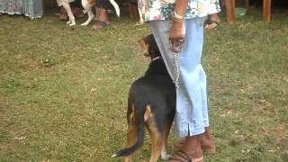 Download Sri Lanka Dog (Bow Wa) Show - The Catwalk! Video