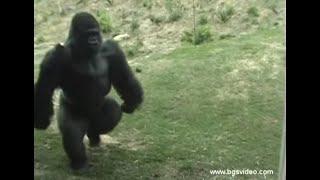 Download Gorilla Walks/Runs Upright Like a Man (long) Video