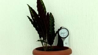 Download Time lapse - Calathea lancifolia / Calathea insignis Video