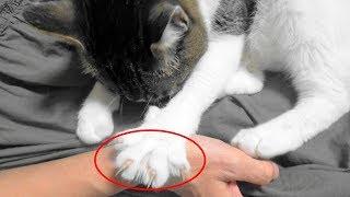 Download ♀猫こむぎの鋭い爪で猫パンチされたら・・・痛いぞ!【猫日記こむぎ&だいず】2017.08.16 Video