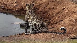 Download Djuma: Hosana male leopard - 12:32 - 08/28/18 Video