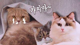 Download 집에 가기 싫다는 고양이들 - 치순&콩 집에 돌아가는 날 Video