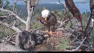 Download 5-23-19 Big Bear Eagles- 2 Fish & A Squirrel Brought In ! Video