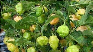 Download Como plantar pimenta de cheiro muito fácil Video
