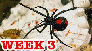 Download Deadly Redback Spiders Attack Stick Spider & Vaseline Controls Week 3 Video