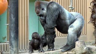 Download 赤ちゃんの触り方が不器用すぎる父⭐️ゴリラ gorilla【京都市動物園】 Video